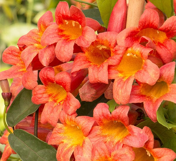 Tangerine Beauty Crossvine