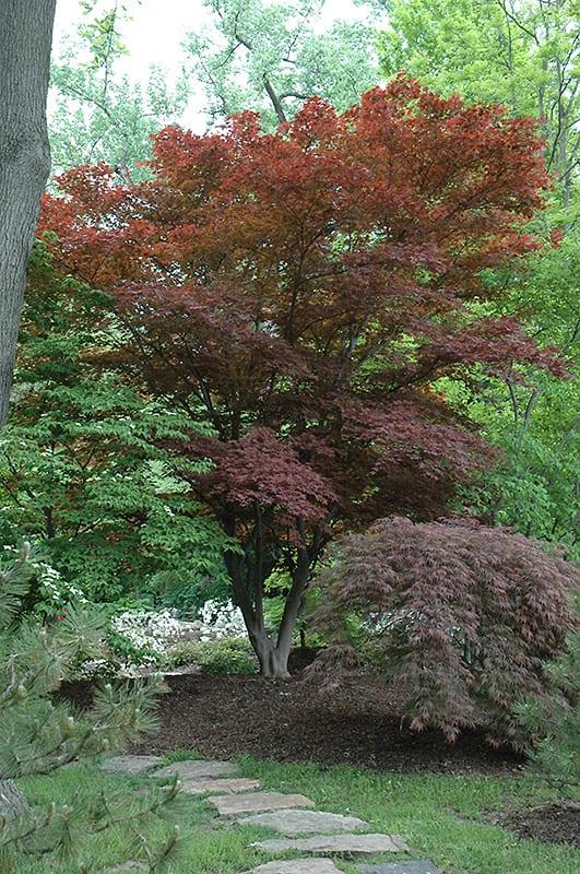 Oshio Beni Japanese Maple