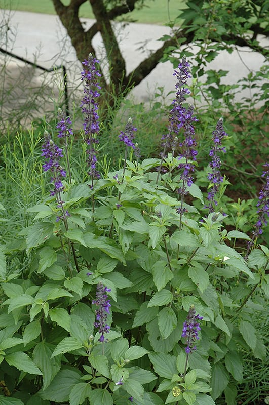 Salvia is the largest genus of plants in the mint family Lamiaceae with nearly 1000 species of shrubs herbaceous perennials and annuals Within the Lamiaceae