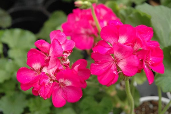 Rocky Mountain Deep Rose Geranium