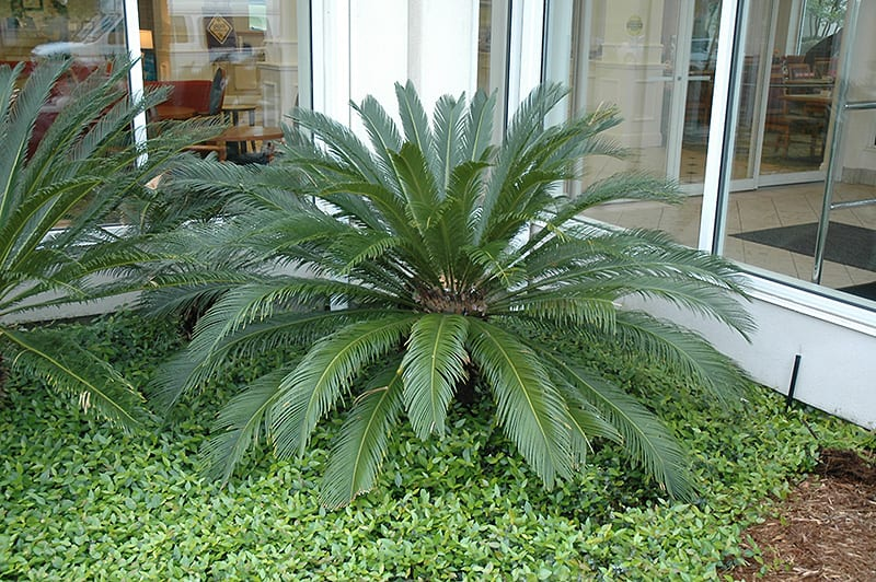 Japanese Sago Palm Calloway S Nursery