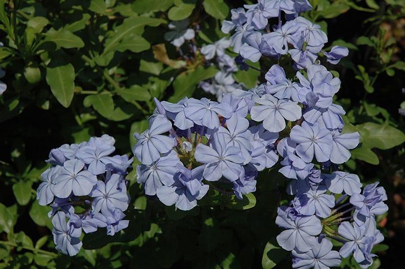 Dark Blue Plumbago Calloway S Nursery