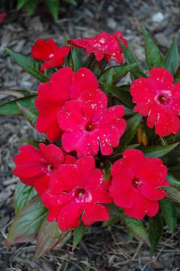 Magnum Dark Red New Guinea Impatiens