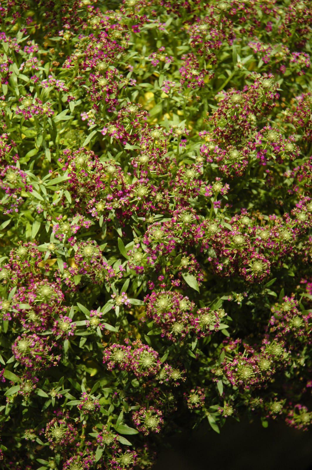 Purple Stream Sweet Alyssum