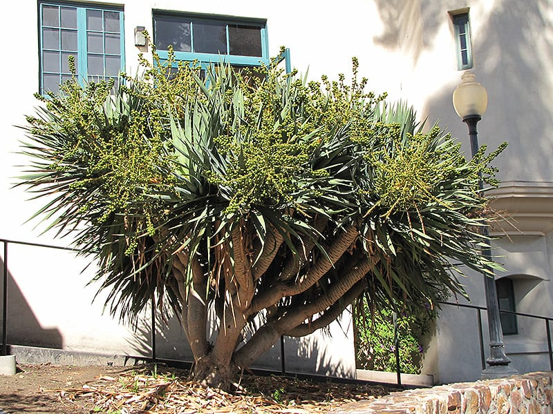 Dragon Tree (shrub form)