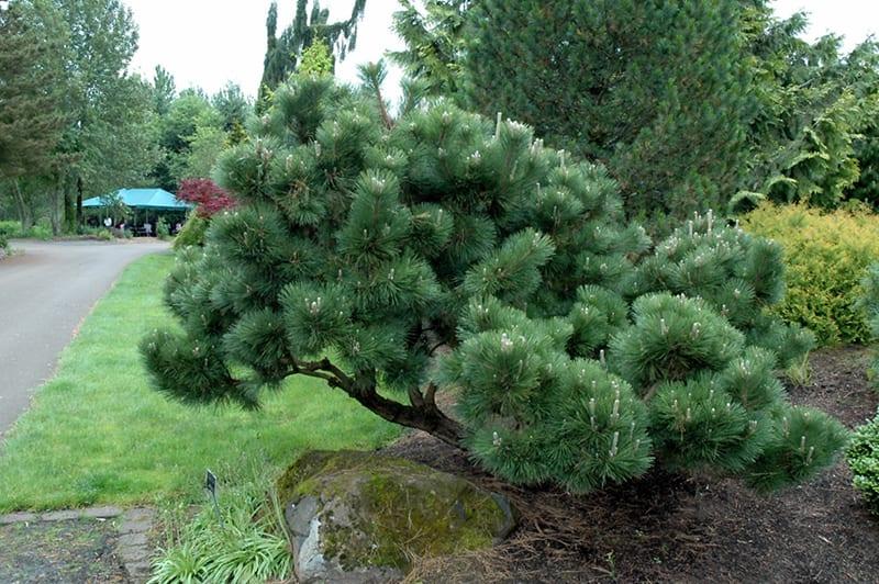Thunderhead Japanese Black Pine Calloway S Nursery
