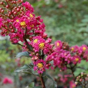 Plum Magic Crapemyrtle