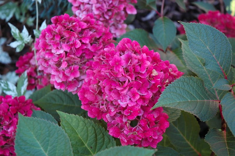 BloomStruck<sup>®</sup> Hydrangea
