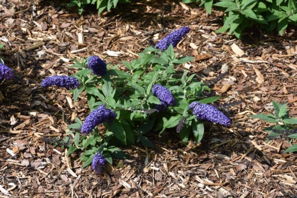 Pugster Blue<sup>®</sup> Butterfly Bush
