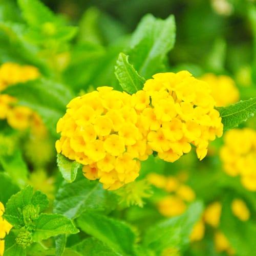 yellow lantana