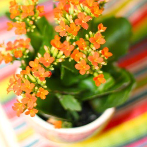 close up of orange kalanchoe