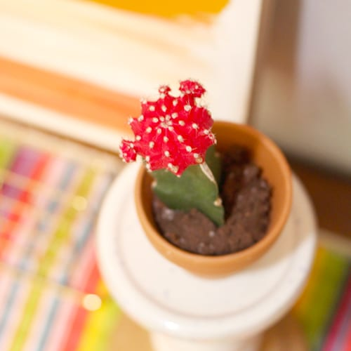 red grafted cactus
