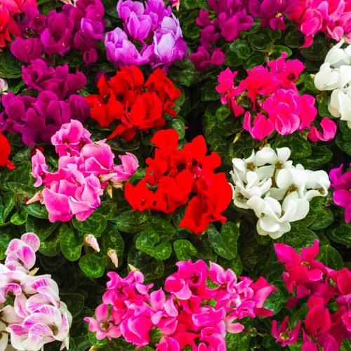 colorful cyclamen