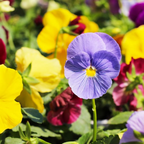 clear blue pansy