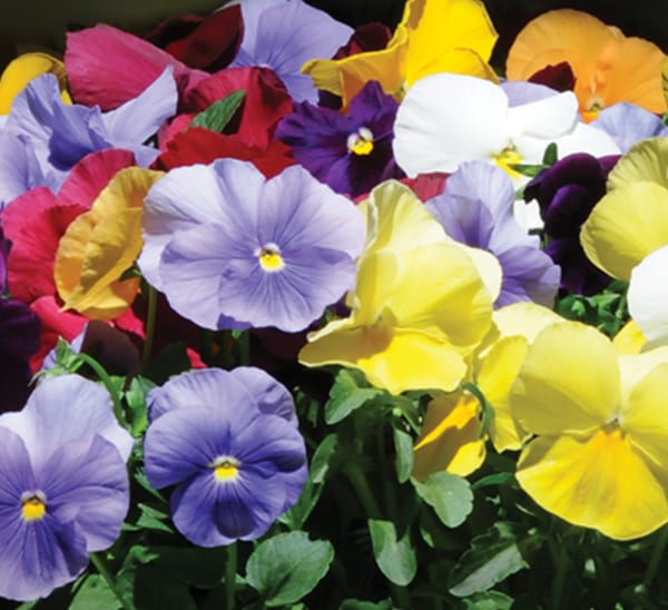 Matrix® Pansy